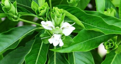 Thorn of Herbal Asuro and Treatment of Corona